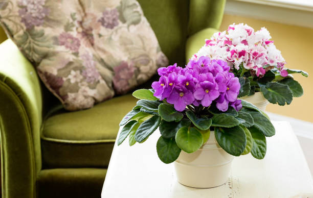 African Violets stock photo