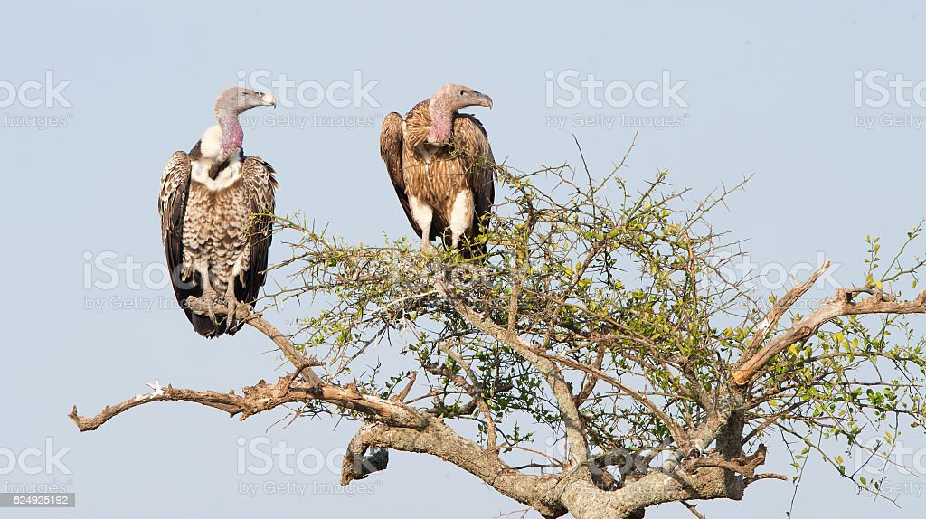 African Vulture on the tree. stock photo