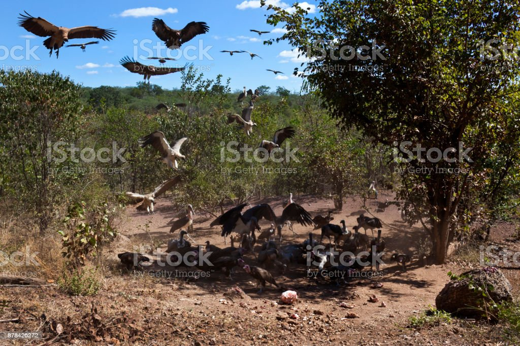 African vultures landing at the remains of a kill - Zimbabwe stock photo