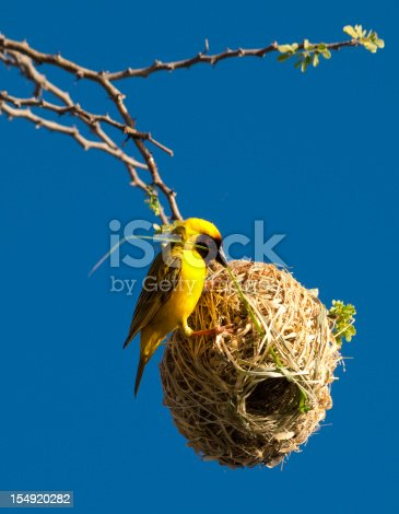 Southern Masked Weaver or African Masked Weaver (Ploceus velatus) Bird building its nest in Namibia, Southern Africa. This bird is common in Namibia, South Africa, Zimbabwe, Mozambique, Lesotho and Swaziland.