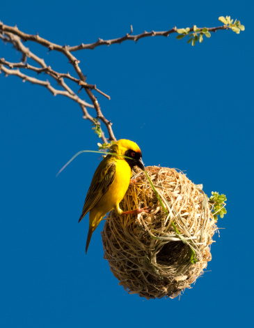 istock African Weaver Bird building its nest in Namibia 154920282