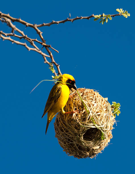 African Weaver Bird building its nest in Namibia stock photo