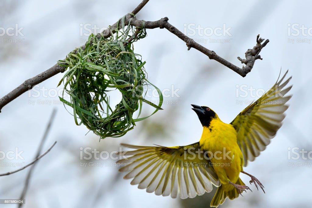 African Weaver Bird Building Nest Stock Photo Download Image Now