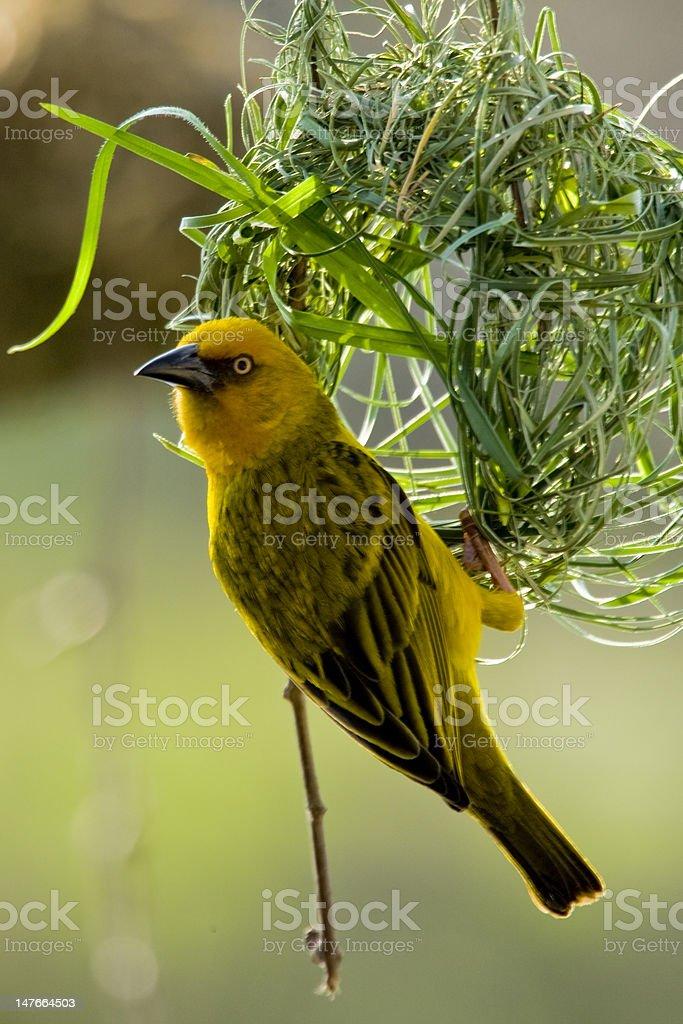 African Weaver Bird stock photo