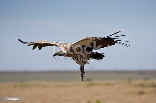 African White Backed vulture, Masai Mara, Kenya