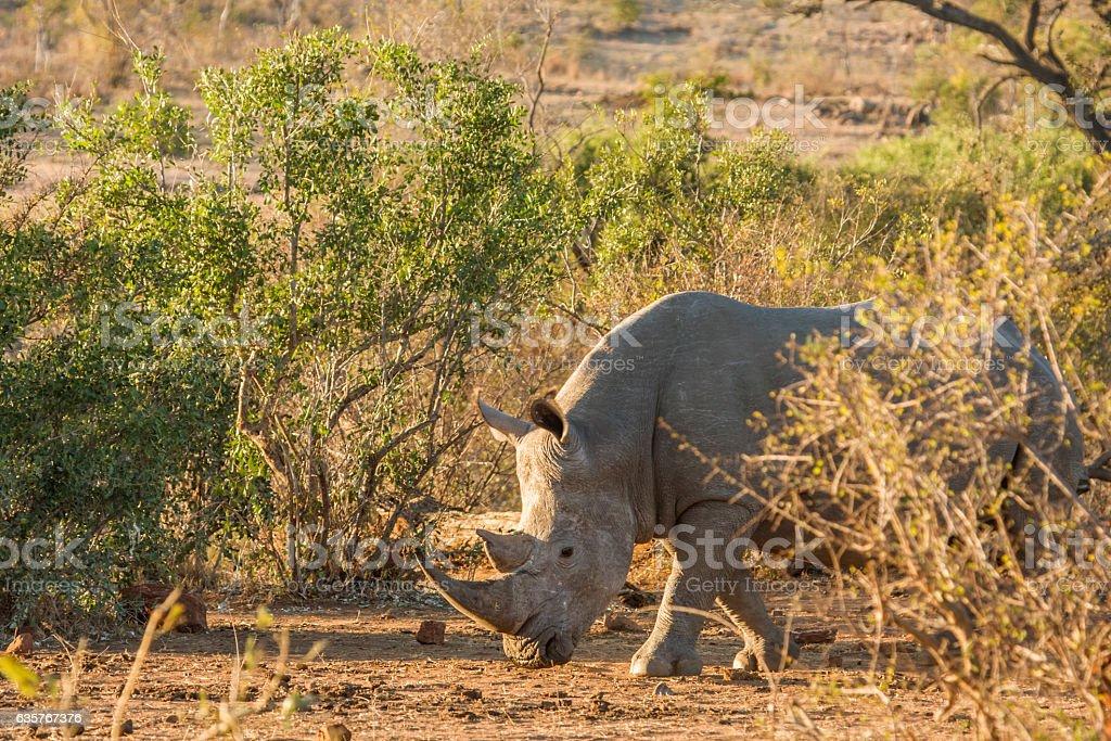 african white rhinoceros grazing in savannah stock photo