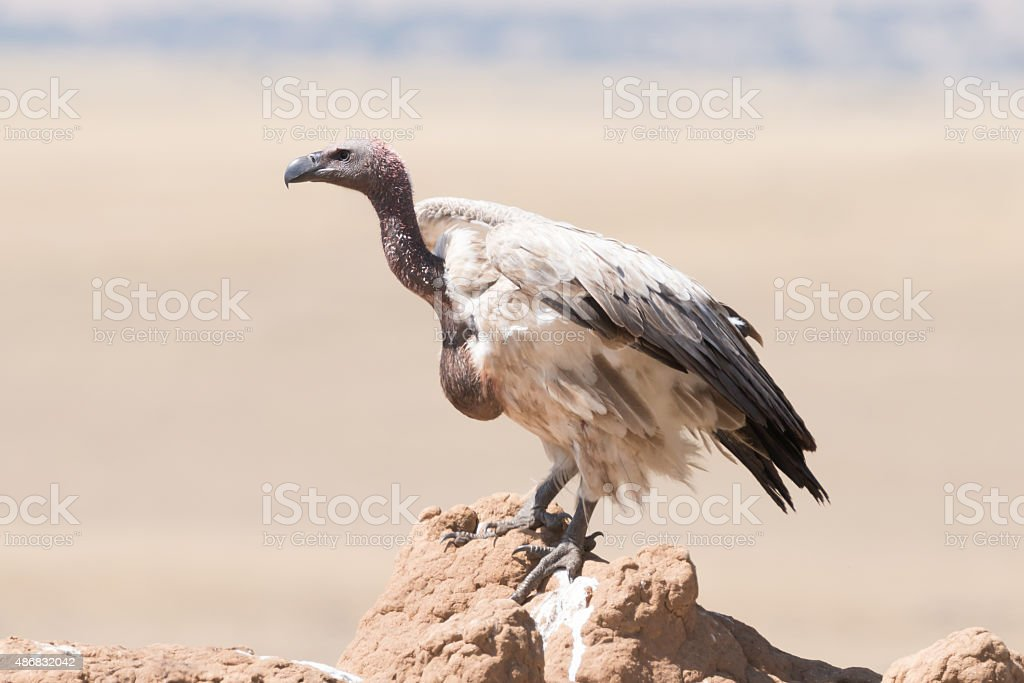 African white-backed vulture perched on termite mound stock photo