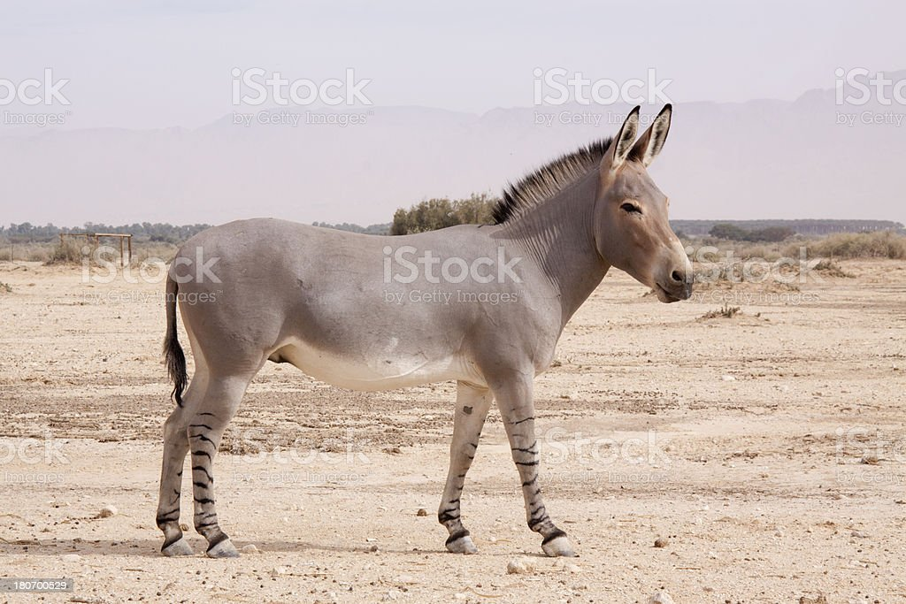 African wild ass royalty-free stock photo