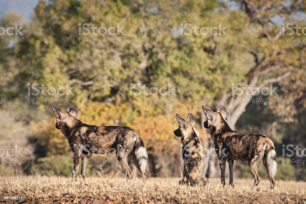 African wild dog hunting stock photo
