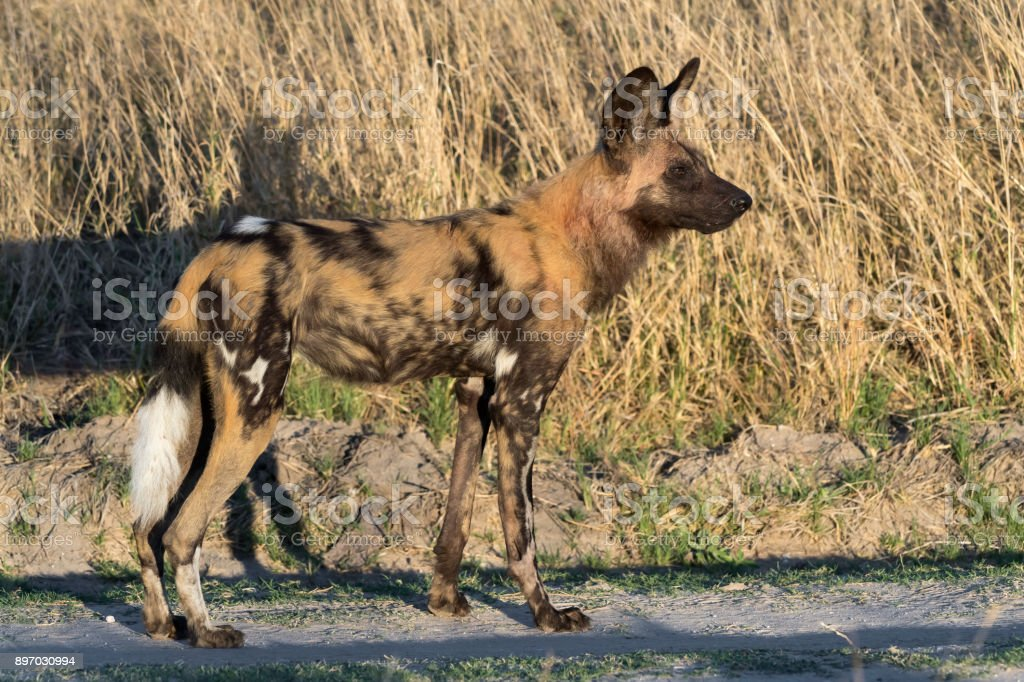 African Wild Dog in Hwange National Park, Zimbabwe stock photo