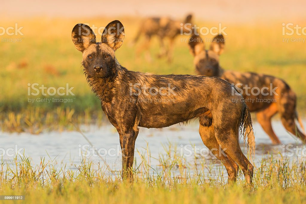 African Wild Dog in water stock photo