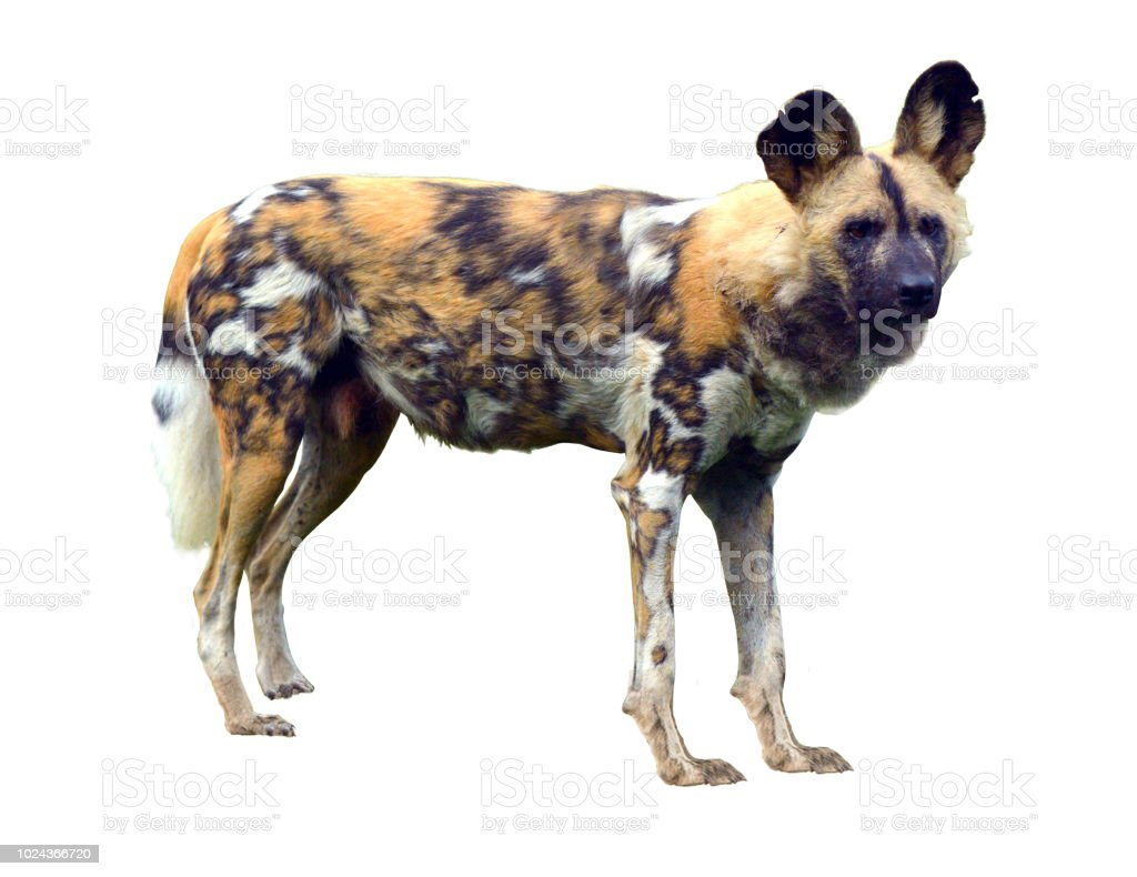 African wild dog isolated on white background stock photo