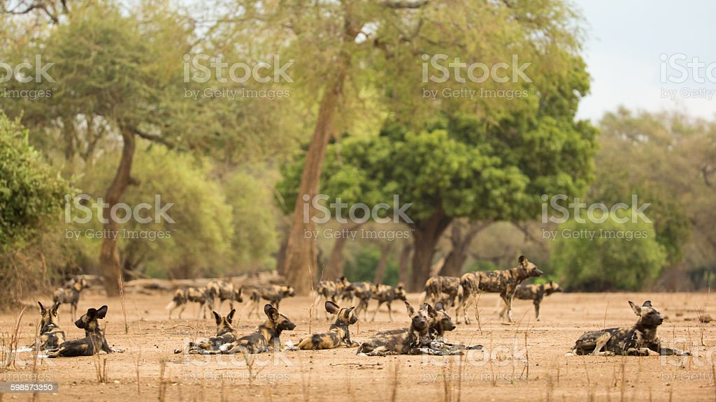African Wild Dog (Lycaon pictus) pack stock photo