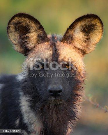 African Wild Dog/ Hunting Dog/ Painted Dog