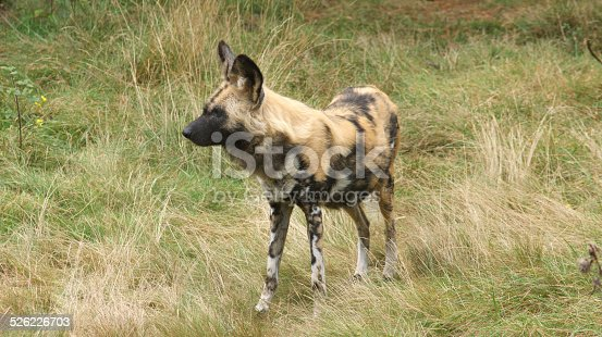 Name: African Wild Dog, Painted dog