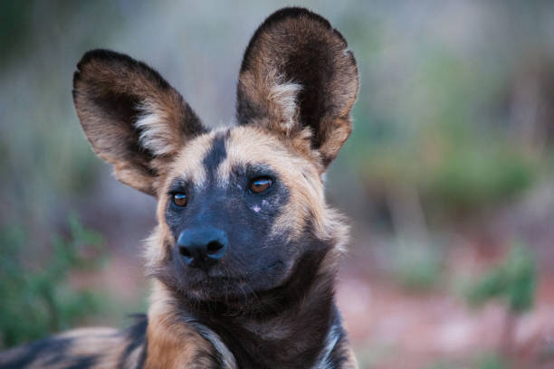 African Wild dog portrait stock photo