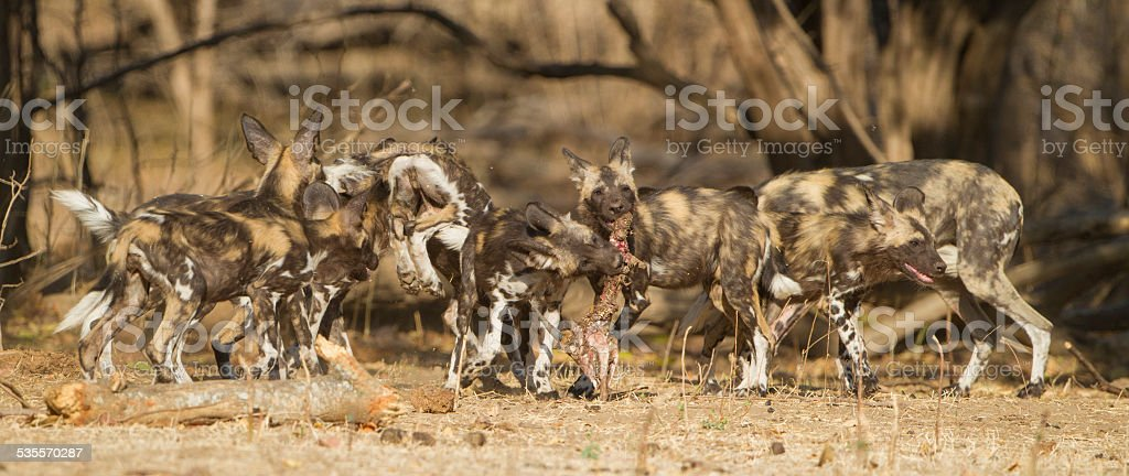 African Wild Dog pupies (Lycaon pictus) playing with Impala skull stock photo