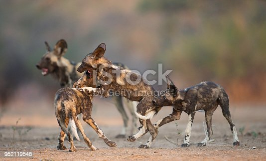 also known as African hunting dog, African painted dog, painted hunting dog, or painted wolf. Classified as endangered by the IUCN.
