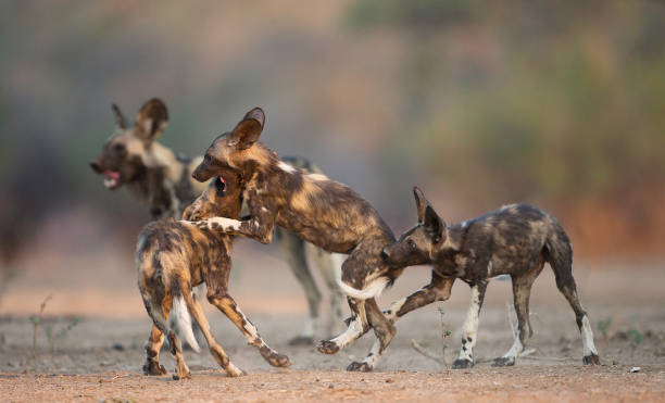 african wild dog (lycaon pictus) puppies play fighting, mana pools national park, zimbabwe. - cão selvagem imagens e fotografias de stock