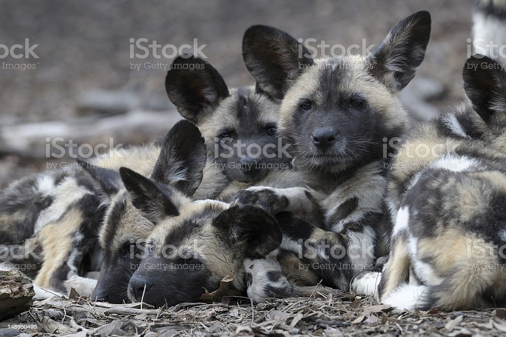 African wild dog pups stock photo