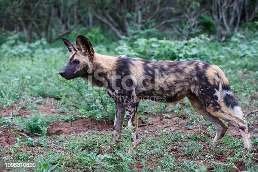 African Wild dog in Zimanga Game Reserve - South Africa