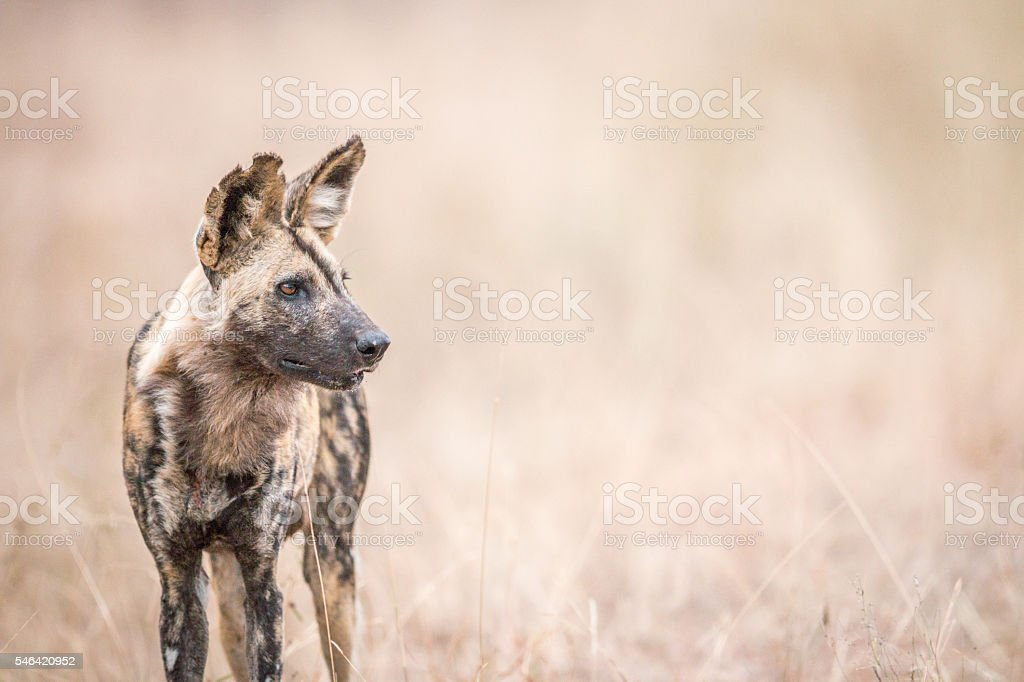 African wild dog starring in the Kruger National Park. stock photo