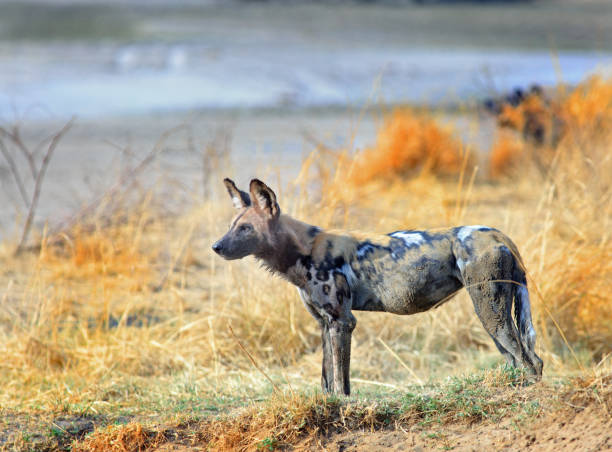 african wild dog surveying the plains in south luangwa national park - cão selvagem imagens e fotografias de stock