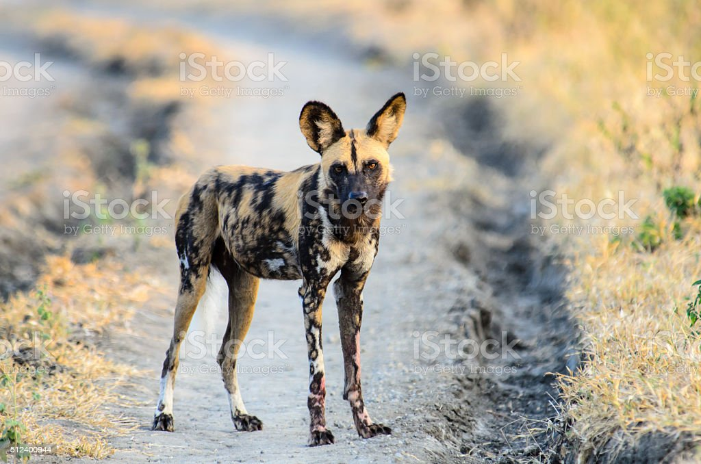 African Wild Dog watching proceedings closely stock photo