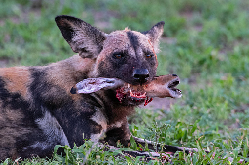 African Wild Dog with dead Impala Lamb, Mala Mala Game Reserve, South Africa