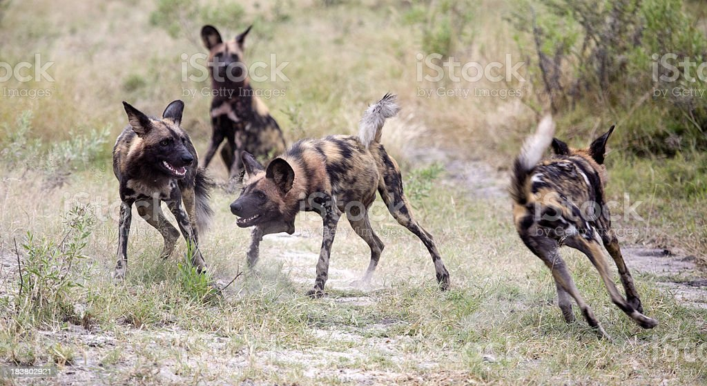 African WIld Dogs at Play stock photo