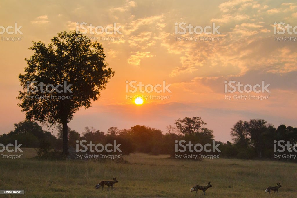 African wild dogs at sunset stock photo