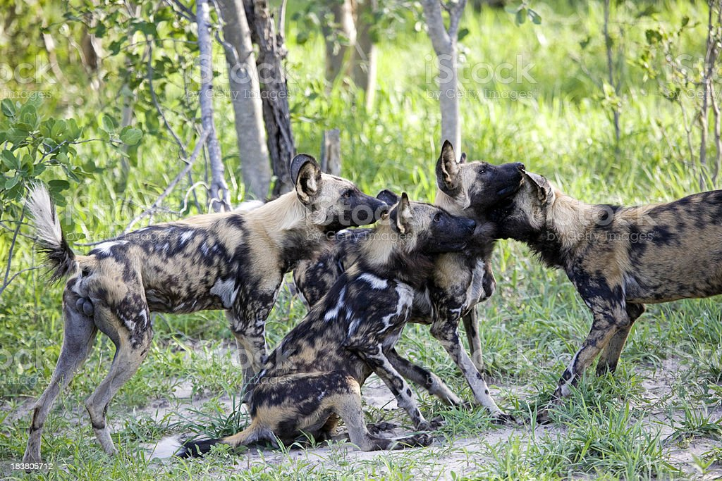 African Wild Dogs Greeting stock photo