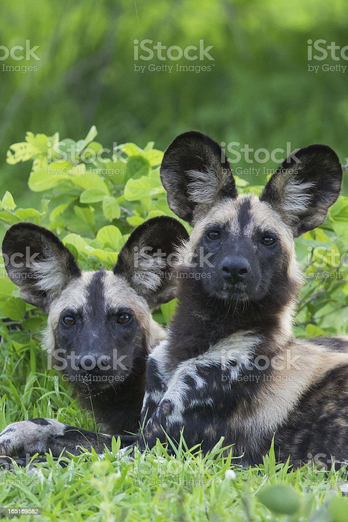 African Wild dogs royalty-free stock photo