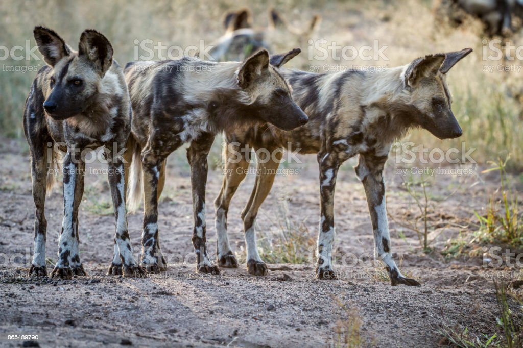 African wild dogs starring around. stock photo