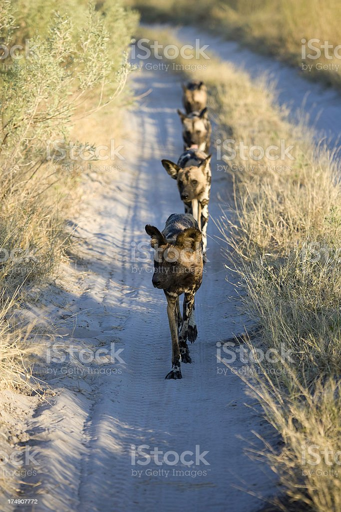 African Wild Dogs walking down track stock photo