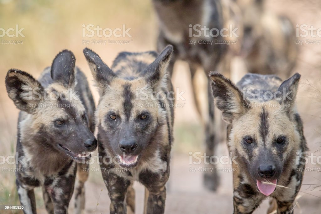 African wild dogs walking towards the camera. stock photo