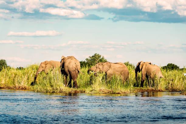 afrikanischer wilder elefant herd im zambezi nationalpark - fluss sambesi stock-fotos und bilder