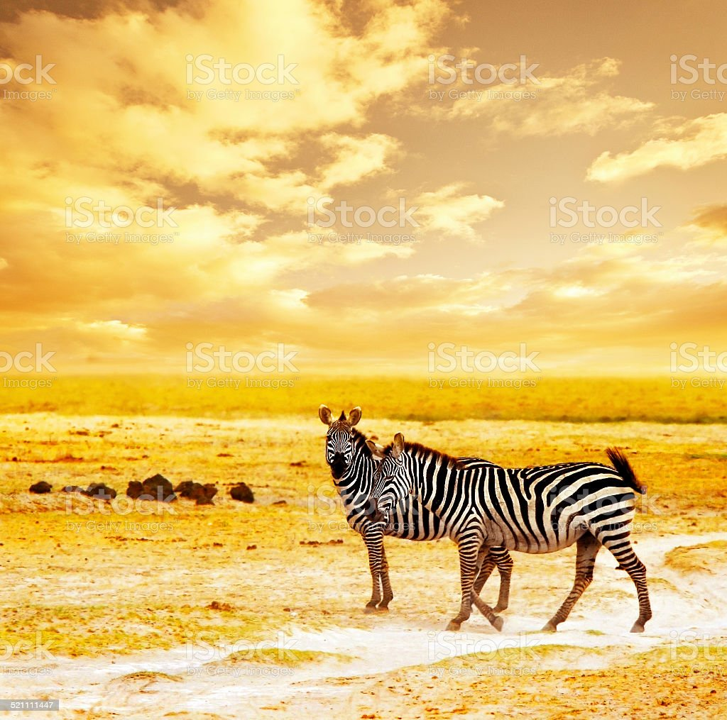 African wild zebras stock photo