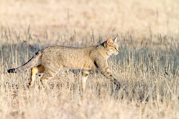 African Wildcat, Kgalagadi Transfrontier Park, South Africa stock photo
