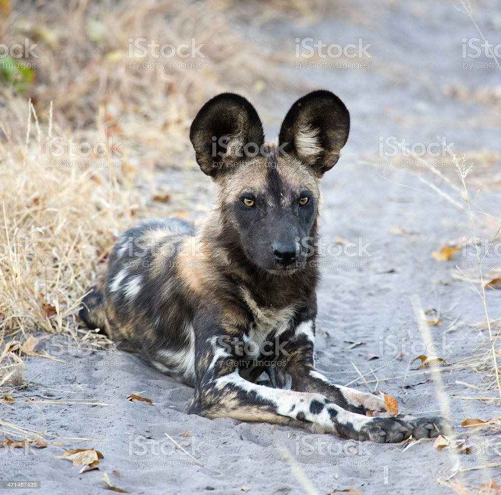 African Wilddog stock photo