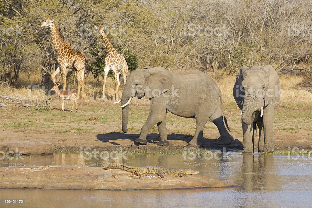African wildlife at a waterhole royalty-free stock photo