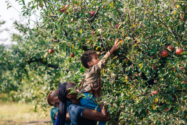 African Woman And Her Son Picking Apples In Orchard An Autumn