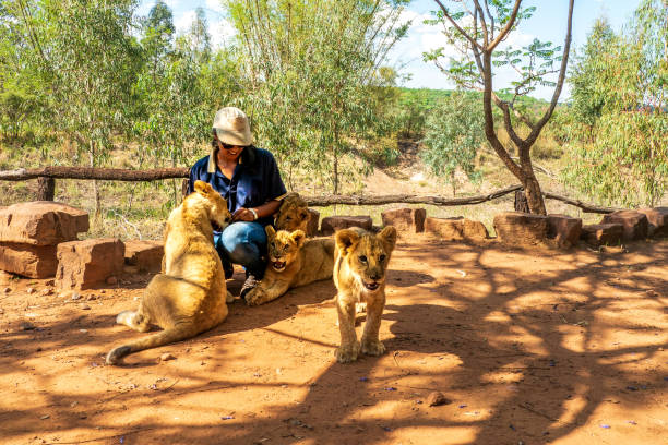 African woman crouching on the ground and playing with 4 month old lion cubs (Panthera leo), Colin's Horseback Africa Lodge, Cullinan, South Africa Colin's Horseback Africa Safari Lodge, near Cullinan, South Africa: This lodge is participating in a wildlife breeding and reintroduction program. The lions show, are the newest cubs. Tourists are allowed to interact with them. wildlife reserve stock pictures, royalty-free photos & images