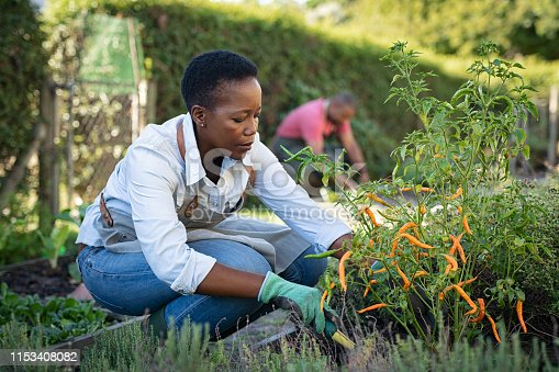 istock African woman grows plants in the garden 1153408082