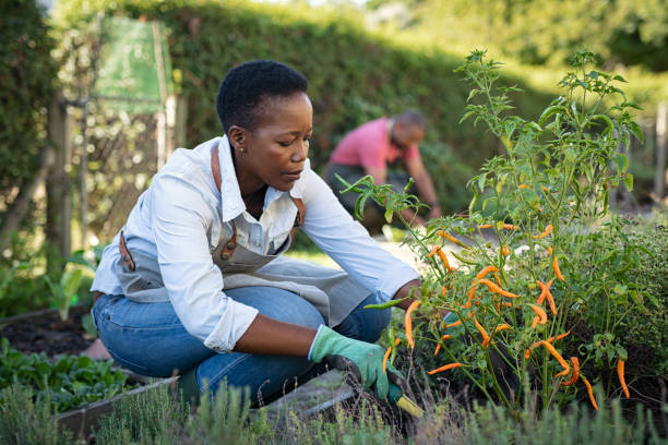 African woman grows plants in the garden African american woman picking vegetables from garden. Mature woman working in vegetable garden. Black farmer taking care of plants and harvesting fresh vegetables from the greenhouse. gardening stock pictures, royalty-free photos & images