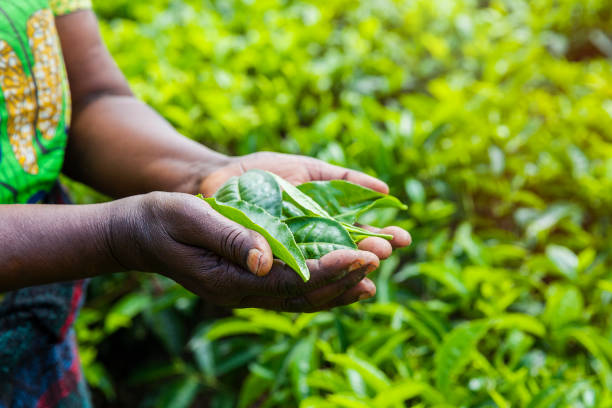 African Woman holding tea leaves. Rwanda Close up on woman's hands holding tea leaves she picked at the plantation. east africa stock pictures, royalty-free photos & images