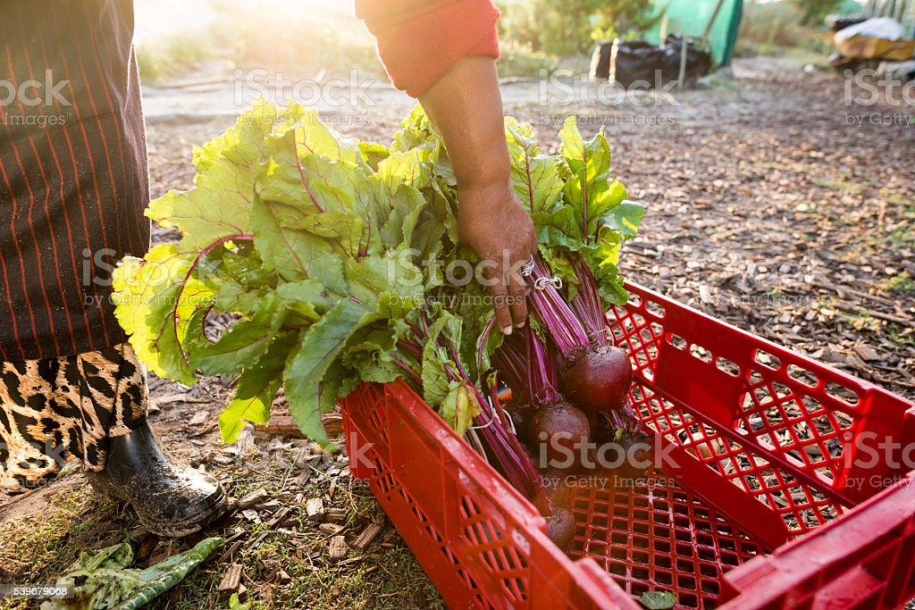 African Woman packs beetroot into crate stock photo