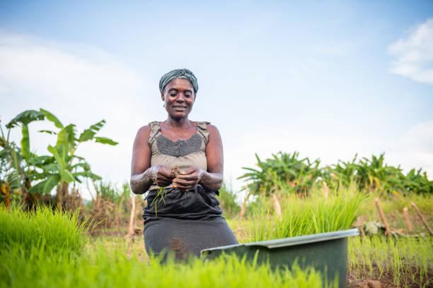 Afrikanische Frau pflanzt Reis auf Feld – Foto