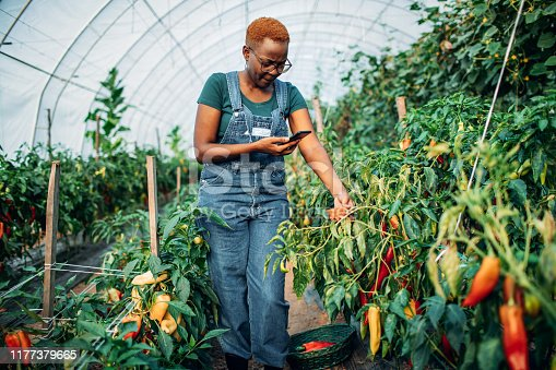 African woman works in her own greenhouse and grows organic vegetable. Woman photographing vegetable.