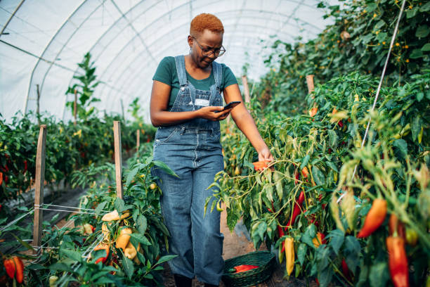 African woman works in her own greenhouse and grows organic vegetable.